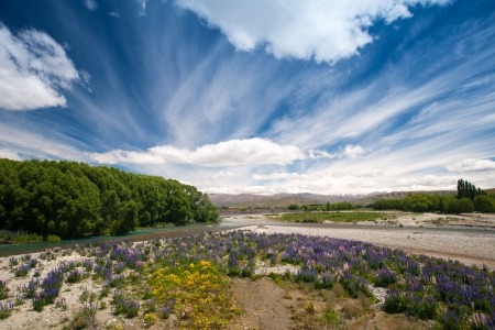 newzealand: Beautiful view and landscape of colorful lupin garden with dramatic cloud in South Island, New Zealand