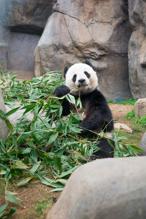 rare animals: Cute Giant Panda eating bamboo Stock Photo