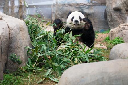 Cute Giant Panda eating bamboo photo