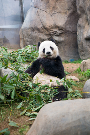 head rest: Cute Giant Panda eating bamboo Stock Photo