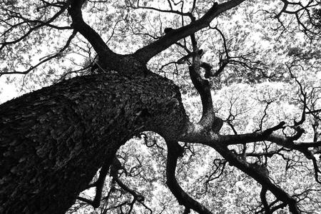 arboles blanco y negro: Hermosa forma de grandes árboles saman Samanea y el patrón de ramificación en tono blanco y negro Foto de archivo
