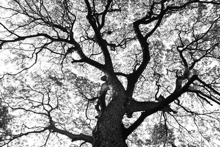 samanea saman: Beautiful shape of large Samanea saman trees and pattern of branch in black and white tone Stock Photo
