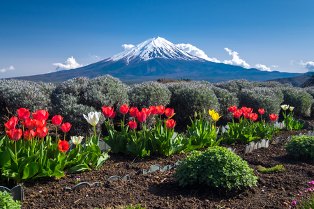 seaonal: Beautiful view of Fujisan Mountain with colorful tulip in spring, Kawaguchiko lake, Japan