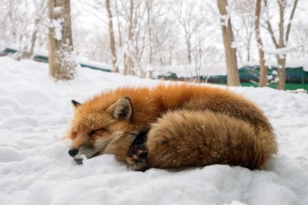 Cute fox on snow in Miyagi
