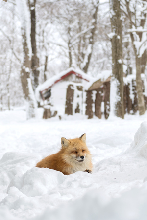 Cute fox on snow in Miyagi