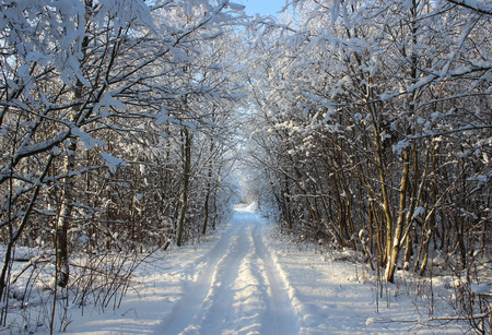 intensely: Winter forest and road after a snowfall on Christmas in the dead of winter.