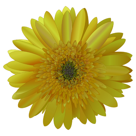phytology: vector image sunny bright yellow Barberton daisy (Gerbera jamesonii) on a white background. No trace.