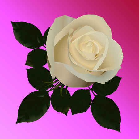 rosaceae: Vector picture of white roses on a pink background. No trace.