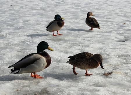 melting ice: male and female mallard duck walking on melting ice. Karpin pond, Gatchina park, Gatchina, Leningrad region, spring 2016.