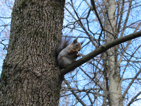 commonplace: Squirrel (Sciurus vulgaris) sits on an oak branch, and eat bread. Gatchina park, Gatchina, Leningrad, Russia. Spring 2016.