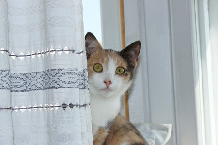 heed: Three-color cat home young Masyanya sitting on a windowsill and looks straight from behind the curtain. Stock Photo