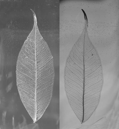gauzy: Black and white photo of skeletonized leaves of ficus (Ficus benjamina). Stock Photo