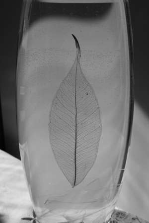 thin shell: Black and white photo of skeletonized leaf of ficus (Ficus benjamina) on a glassy vase. Stock Photo