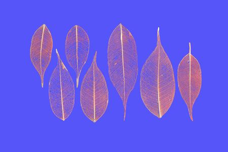 gauzy: seven skeletonized reddish leaves ficus (Ficus benjamina) on a sky-blue background.
