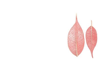 textura: due foglie di ficus scheletrato (Ficus benjamina) su uno sfondo bianco. Archivio Fotografico