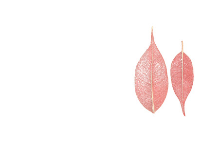 netlike: two skeletonized leaves of ficus (Ficus benjamina) on a white background. Stock Photo