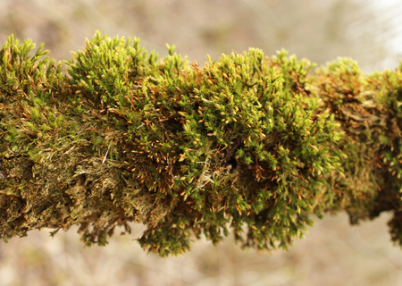 sylvan: Green moss (Bryophyta) growing on a tree branch in the mixed forest.