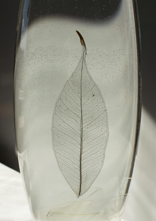 gauzy: Black and white photo of skeletonized leaf of ficus (Ficus benjamina) on a glassy vase. Stock Photo