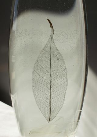 Foto in bianco e nero di foglia scheletrato di ficus (Ficus benjamina) in un vaso di vetro.