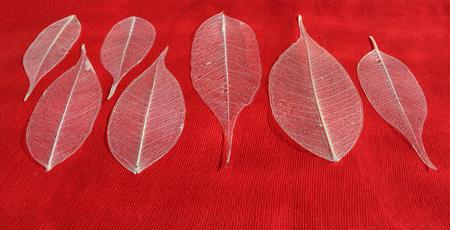 gauzy: seven skeletonized leaf ficus (Ficus benjamina) on a red background.