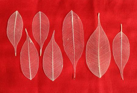 textura: sette foglie di ficus scheletrato (Ficus benjamina) su sfondo rosso.