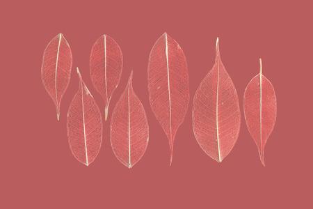 textura: sette foglie scheletrato di ficus (Ficus benjamina) su uno sfondo rossastro.