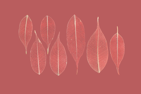 gauzy: seven skeletonized leaves of ficus (Ficus benjamina) on a reddish background.