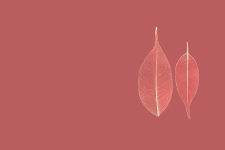textura: due foglia scheletrato ficus (Ficus benjamina) su uno sfondo rossastro.