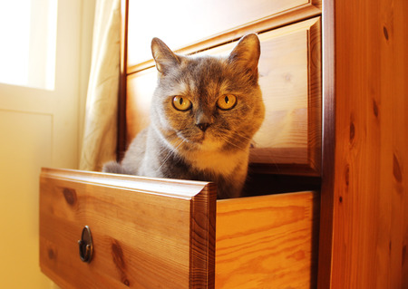 custom cabinet: Grey Cat Lisa is sitting in a drawer.