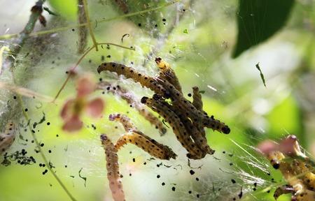 gronostaj: gąsienice szkodników jedwabiu Hyponomeuta malinella gronostaj ćma Zdjęcie Seryjne