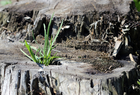 repens: Spring young green grass Agropyron repens are growing from the stump Stock Photo
