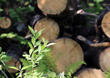 sawn: young green fern polypodiophyta leaves growing amongst sawn tree trunks