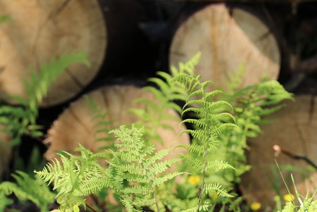 amongst: young green fern polypodiophyta leaves growing amongst sawn tree trunks