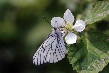 brassicae: White Butterfly Pieris brassicae on a flower, summer