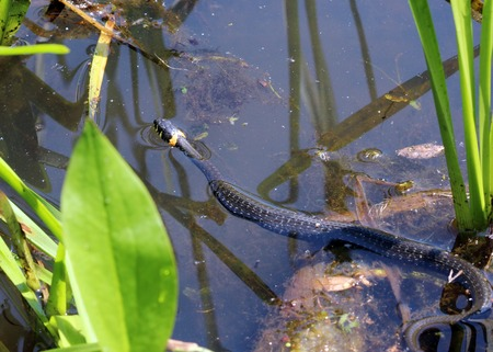 natrix: black grass snake natrix Natriks is floating on a water, Moscow, Russia Stock Photo