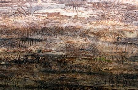 トウヒの木の樹皮の下でカブトムシの痕跡。枯れ木の樹皮下左カブトムシ Skolotina を追跡します。