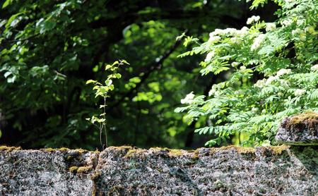 textura: albero stanno crescendo nel muro vicino al parco Sylvia, Gatchina, fatto della famosa pietra pudostskogo, 17 ° secolo
