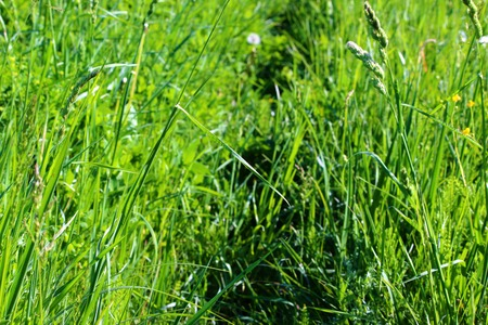 to beckon: Footpath in the field with green grass Dactylis glomerata