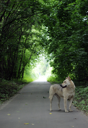 orifice: The lonely stray dog goes on the asphalt path along the avenue to the light