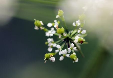 cicuta: Inflorescence of a herb of Hemlock or Poison Hemlock Conium maculatum close up Foto de archivo