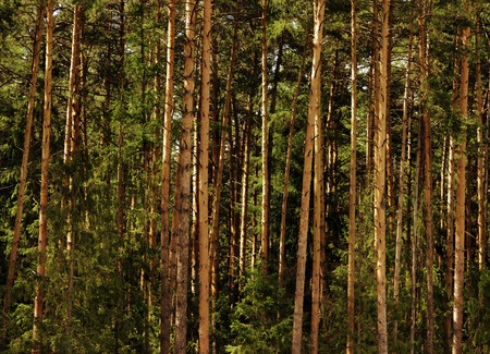 piny: pine forest with trees, illuminated by the sun after a summer rain in the Moscow region