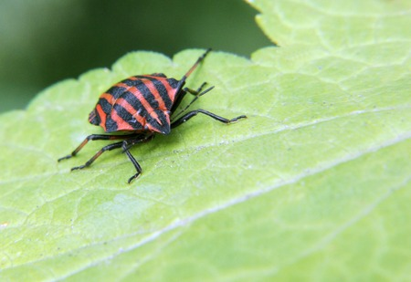 graphosoma: The red black shield bug Graphosoma lineatum from the family Pentatomidae