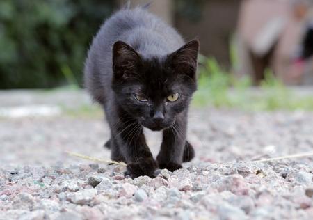 pus: gattino senza casa infettati con herpesvirus felino - rinotracheite infettiva felina o clamidiosi - Chlamydia psittaci con gli occhi congiuntivite Archivio Fotografico