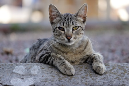 clouding: homeless cat infected with feline herpesvirus - Feline viral rhinotracheitis or chlamydiosis - Chlamydia psittaci with eyes conjunctivitis and Panophthalmitis Stock Photo