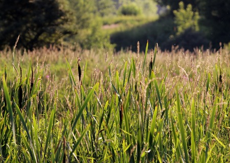 angustifolium: Typha and Chamerion angustifolium on a background of green grass
