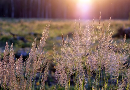 tuft: Tuft grass Calamagrostis epigeios on a sunset on the grass background. Stock Photo
