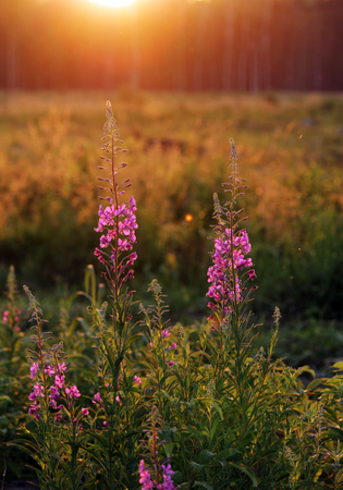 fireweed: fireweed narrow-leaved Chamerion angustifelium bushes at sunset summer sun Stock Photo