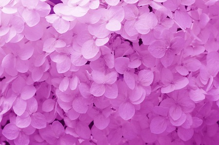 gently: texture and background with gently purple flowers hydrangea Stock Photo