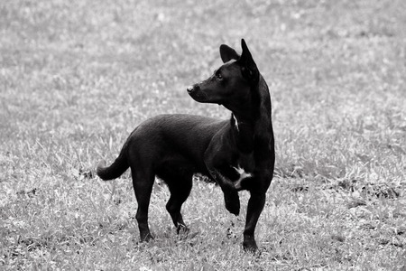 black and white photo of a little black dog sits, tucking one leg and looking sideways