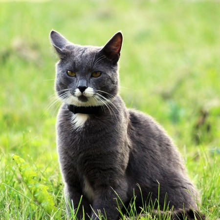 well maintained: Nice gray single cat with yellow eyes is posing outdoors on a sunny day